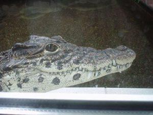Fallen beim Krokodil durch Krankheiten oder Kampfhandlungen Zähne aus - macht nichts - es wachsen einfach neue Zähne nach.
